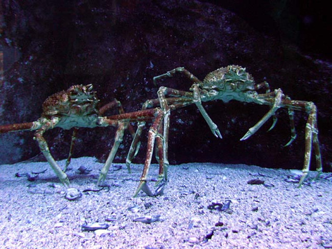 Spider Crab Size Viralands - Are...