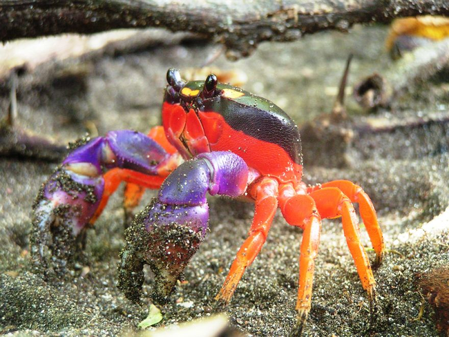 Colorful Land Crab!