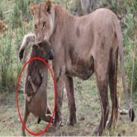 Lioness Killed A Baboon. How She Treated The Baby Is No Less Than Amazing!